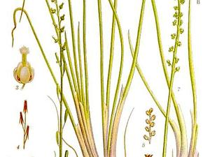 Seaside Arrowgrass