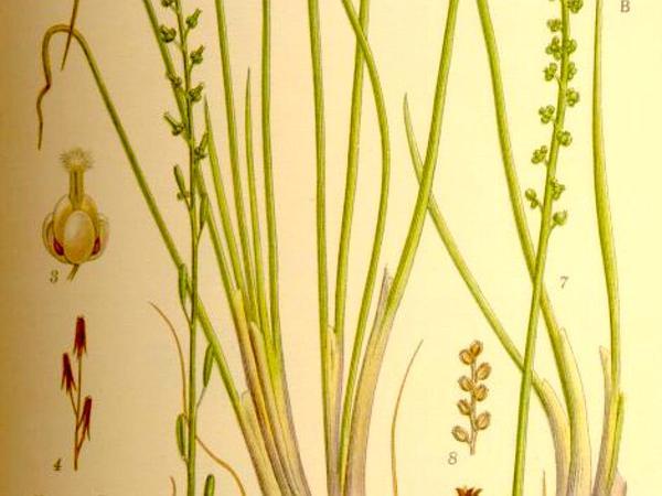 Seaside Arrowgrass (Triglochin Maritima) https://www.sagebud.com/seaside-arrowgrass-triglochin-maritima