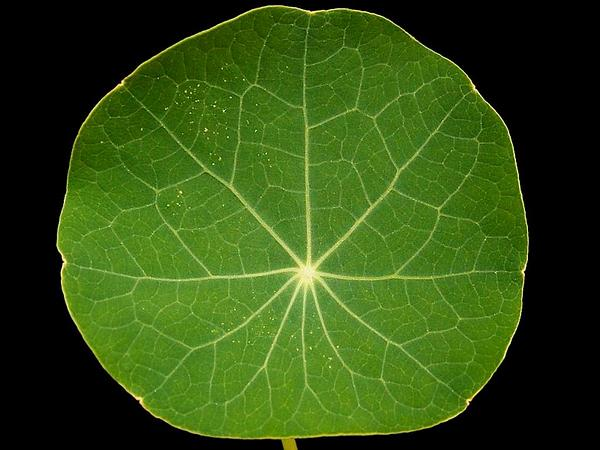 Nasturtium (Tropaeolum Majus) https://www.sagebud.com/nasturtium-tropaeolum-majus