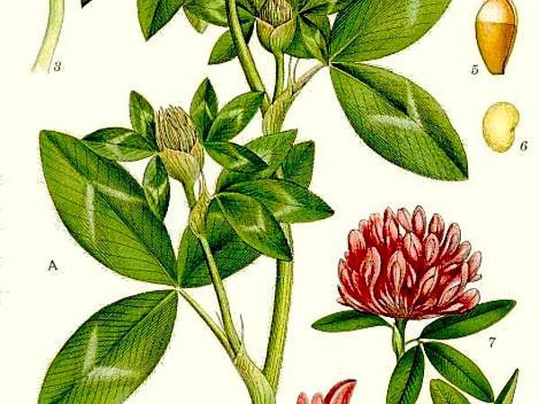 Zigzag Clover (Trifolium Medium) https://www.sagebud.com/zigzag-clover-trifolium-medium/