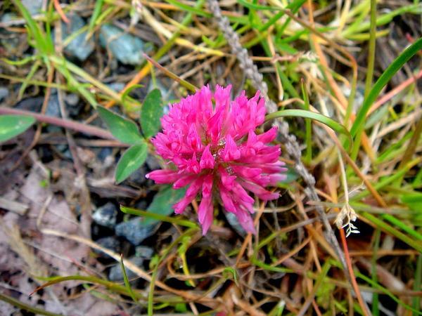 Zigzag Clover (Trifolium Medium) https://www.sagebud.com/zigzag-clover-trifolium-medium