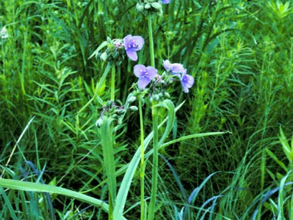 Bluejacket (Tradescantia Ohiensis) https://www.sagebud.com/bluejacket-tradescantia-ohiensis