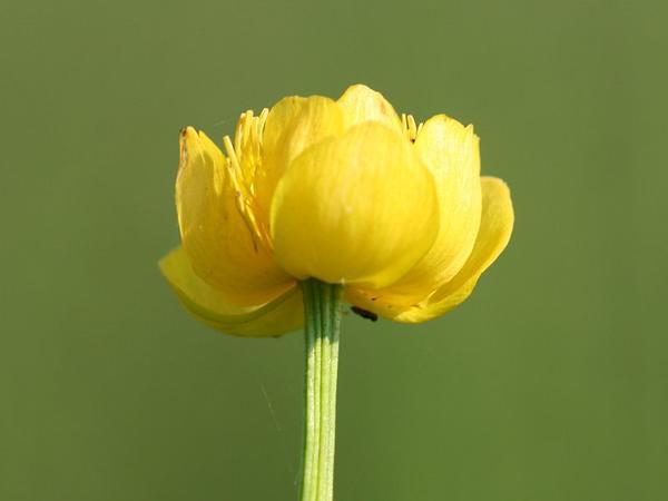 Globeflower (Trollius) https://www.sagebud.com/globeflower-trollius/