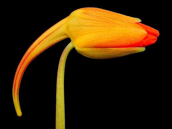 Nasturtium (Tropaeolum) https://www.sagebud.com/nasturtium-tropaeolum