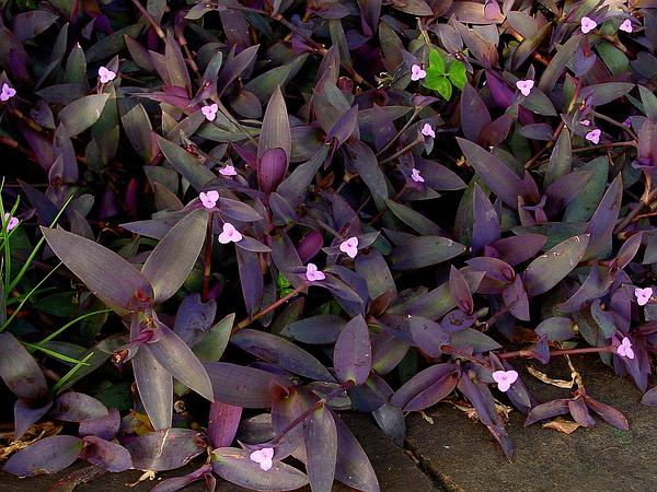 Purple Queen (Tradescantia Pallida) https://www.sagebud.com/purple-queen-tradescantia-pallida