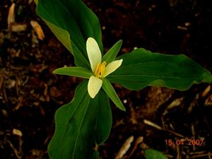 Smallflower Wakerobin