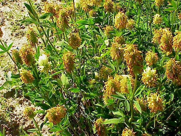 Hungarian Clover (Trifolium Pannonicum) https://www.sagebud.com/hungarian-clover-trifolium-pannonicum