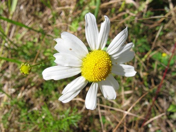 Scentless False Mayweed (Tripleurospermum Perforatum) https://www.sagebud.com/scentless-false-mayweed-tripleurospermum-perforatum/