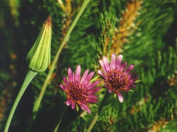 Salsify (Tragopogon Porrifolius) https://www.sagebud.com/salsify-tragopogon-porrifolius
