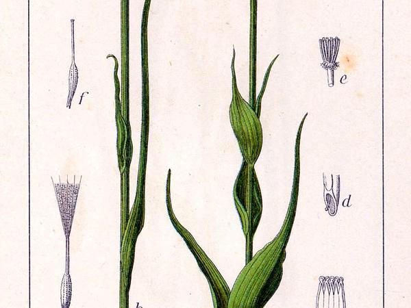 Salsify (Tragopogon Porrifolius) https://www.sagebud.com/salsify-tragopogon-porrifolius/