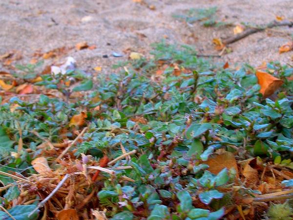 Desert Horsepurslane (Trianthema Portulacastrum) https://www.sagebud.com/desert-horsepurslane-trianthema-portulacastrum