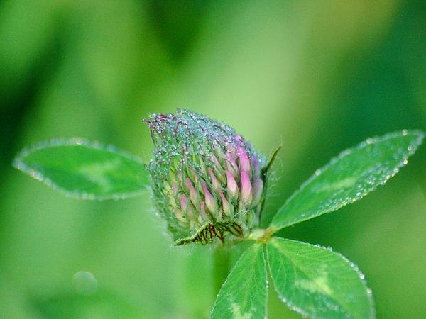Red Clover (Trifolium Pratense) https://www.sagebud.com/red-clover-trifolium-pratense