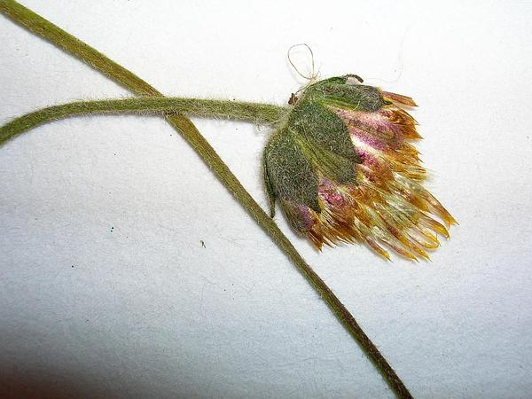 Coatbuttons (Tridax Procumbens) https://www.sagebud.com/coatbuttons-tridax-procumbens/