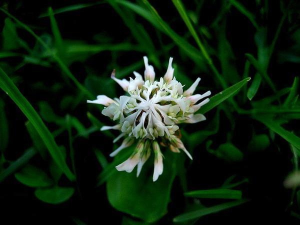 White Clover (Trifolium Repens) https://www.sagebud.com/white-clover-trifolium-repens