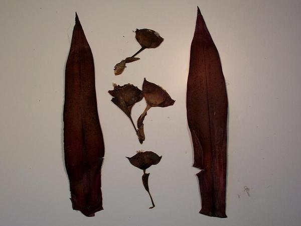 Boatlily (Tradescantia Spathacea) https://www.sagebud.com/boatlily-tradescantia-spathacea