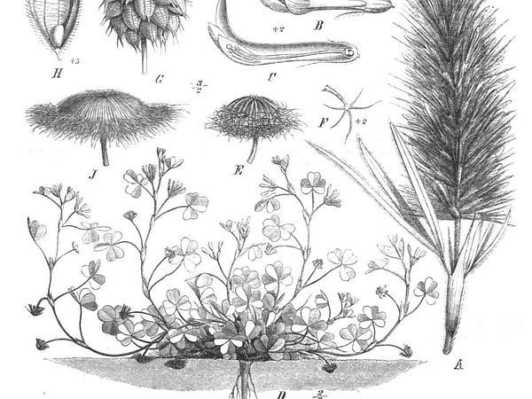 Subterranean Clover (Trifolium Subterraneum) https://www.sagebud.com/subterranean-clover-trifolium-subterraneum