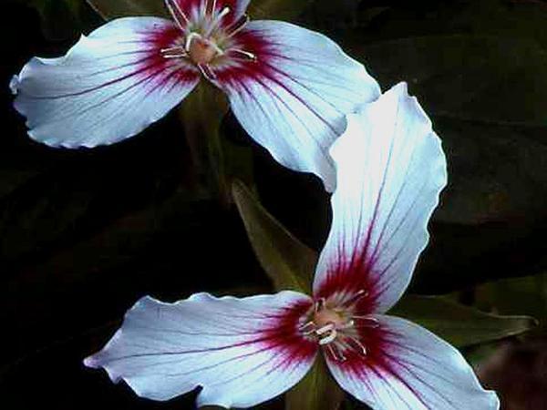 Painted Trillium (Trillium Undulatum) https://www.sagebud.com/painted-trillium-trillium-undulatum