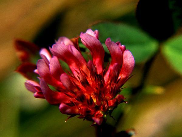 Whitetip Clover (Trifolium Variegatum) https://www.sagebud.com/whitetip-clover-trifolium-variegatum