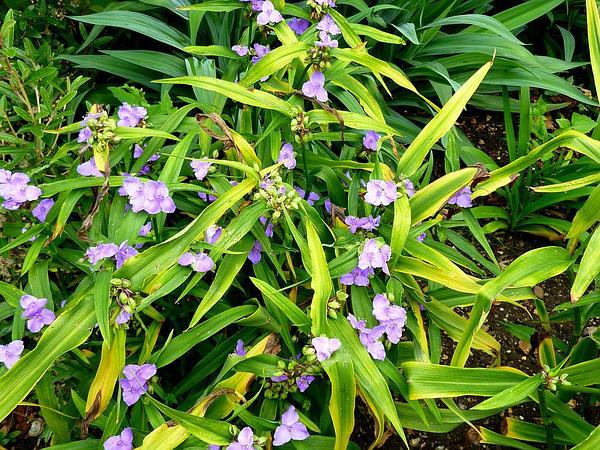 Virginia Spiderwort (Tradescantia Virginiana) https://www.sagebud.com/virginia-spiderwort-tradescantia-virginiana