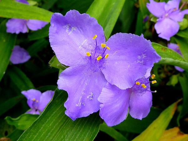 Virginia Spiderwort (Tradescantia Virginiana) https://www.sagebud.com/virginia-spiderwort-tradescantia-virginiana/