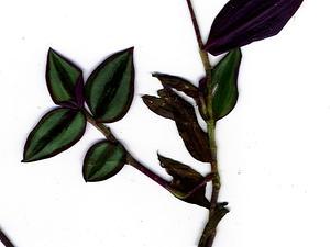 Inchplant