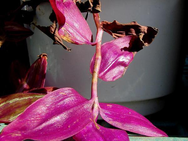 Inchplant (Tradescantia Zebrina) https://www.sagebud.com/inchplant-tradescantia-zebrina