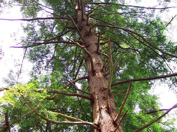 Eastern Hemlock (Tsuga Canadensis) https://www.sagebud.com/eastern-hemlock-tsuga-canadensis/