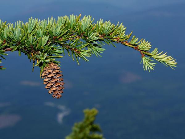 Mountain Hemlock (Tsuga Mertensiana) https://www.sagebud.com/mountain-hemlock-tsuga-mertensiana
