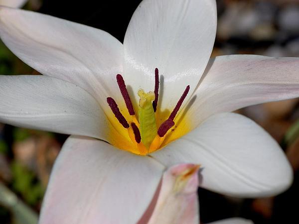 Lady Tulip (Tulipa Clusiana) https://www.sagebud.com/lady-tulip-tulipa-clusiana/