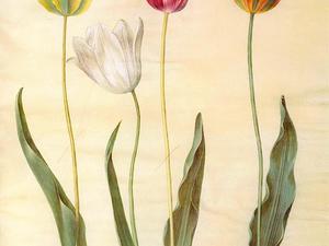 Didier's Tulip