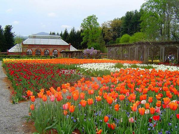 Tulip (Tulipa) https://www.sagebud.com/tulip-tulipa