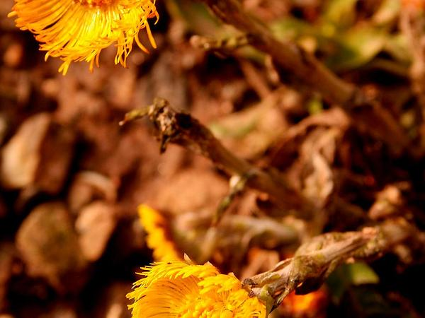 Coltsfoot (Tussilago) https://www.sagebud.com/coltsfoot-tussilago