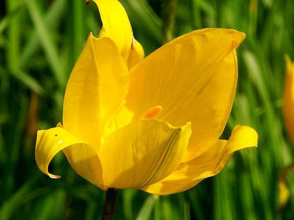 Wild Tulip (Tulipa Sylvestris) https://www.sagebud.com/wild-tulip-tulipa-sylvestris
