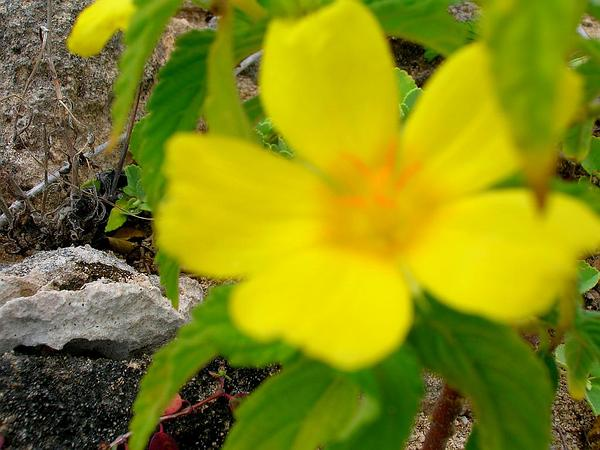 Ramgoat Dashalong (Turnera Ulmifolia) https://www.sagebud.com/ramgoat-dashalong-turnera-ulmifolia