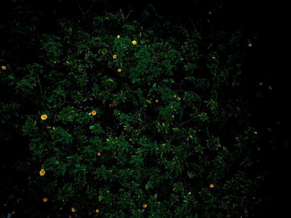 Ramgoat Dashalong (Turnera Ulmifolia) https://www.sagebud.com/ramgoat-dashalong-turnera-ulmifolia/