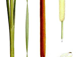 Narrowleaf Cattail