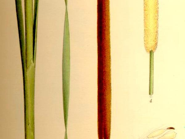 Narrowleaf Cattail (Typha Angustifolia) https://www.sagebud.com/narrowleaf-cattail-typha-angustifolia