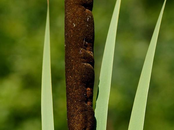Broadleaf Cattail (Typha Latifolia) https://www.sagebud.com/broadleaf-cattail-typha-latifolia