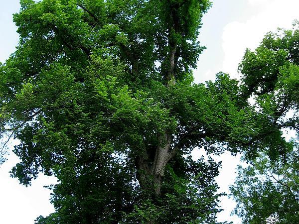 American Elm (Ulmus Americana) https://www.sagebud.com/american-elm-ulmus-americana
