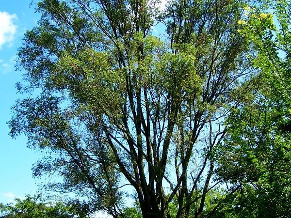 Siberian Elm (Ulmus Pumila) https://www.sagebud.com/siberian-elm-ulmus-pumila