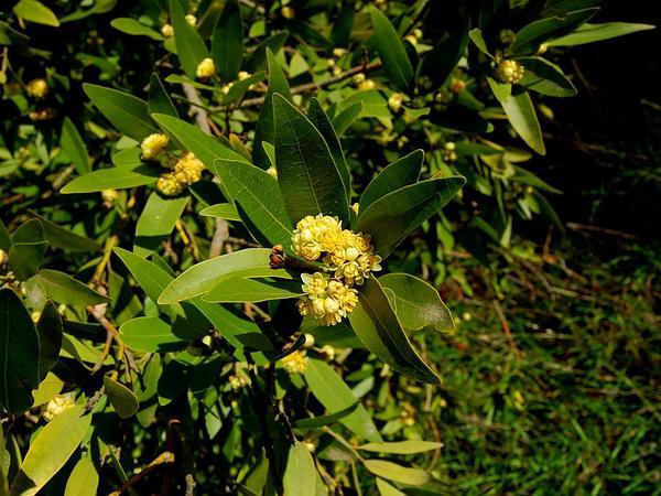 California Laurel (Umbellularia) https://www.sagebud.com/california-laurel-umbellularia
