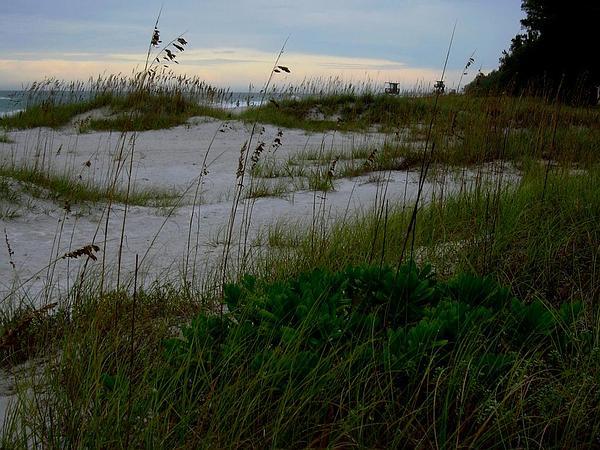 Seaoats (Uniola Paniculata) https://www.sagebud.com/seaoats-uniola-paniculata
