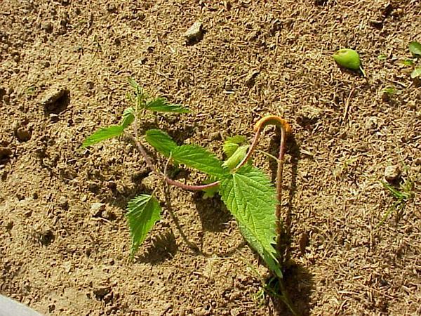 Stinging Nettle (Urtica Dioica) https://www.sagebud.com/stinging-nettle-urtica-dioica