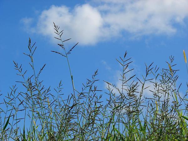 Signalgrass (Urochloa) https://www.sagebud.com/signalgrass-urochloa