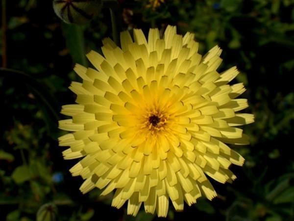Urospermum (Urospermum) https://www.sagebud.com/urospermum-urospermum/