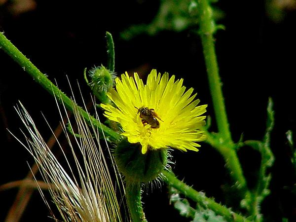 Prickly Goldenfleece (Urospermum Picroides) https://www.sagebud.com/prickly-goldenfleece-urospermum-picroides
