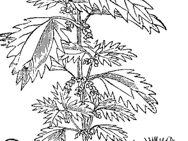 Dwarf Nettle (Urtica Urens) https://www.sagebud.com/dwarf-nettle-urtica-urens/