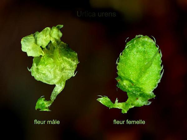 Dwarf Nettle (Urtica Urens) https://www.sagebud.com/dwarf-nettle-urtica-urens