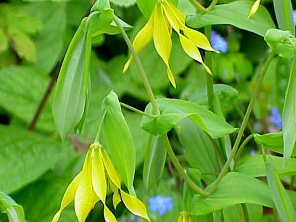 Largeflower Bellwort (Uvularia Grandiflora) https://www.sagebud.com/largeflower-bellwort-uvularia-grandiflora