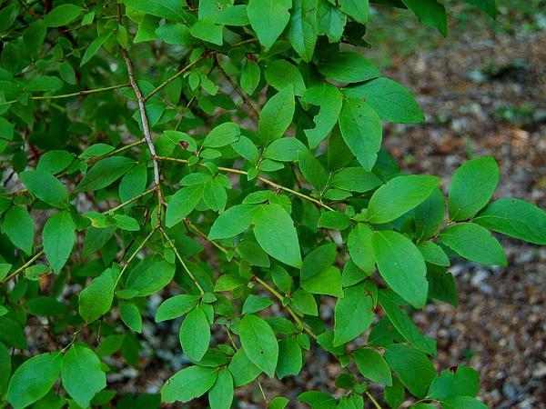 Highbush Blueberry (Vaccinium Corymbosum) https://www.sagebud.com/highbush-blueberry-vaccinium-corymbosum